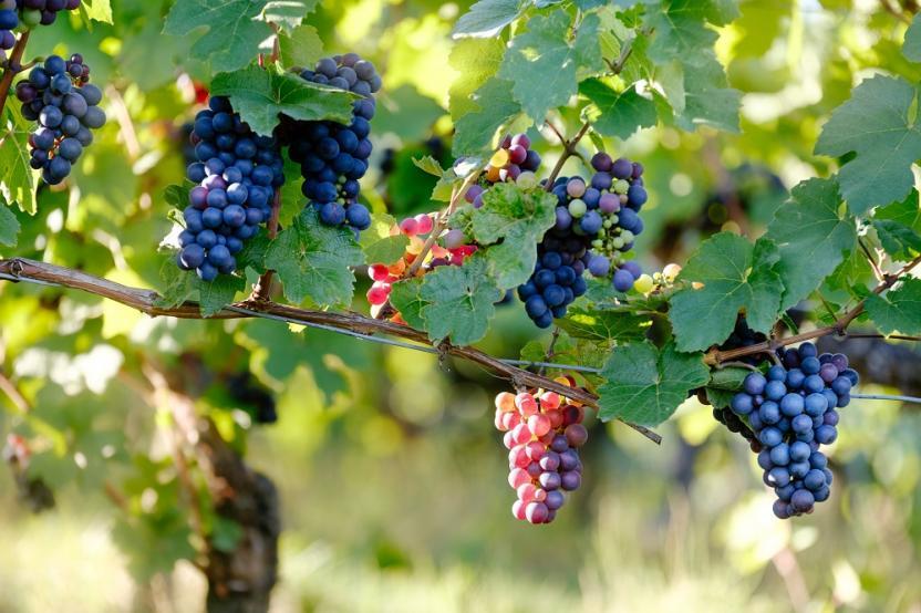 Weinanbau auf Mallorca